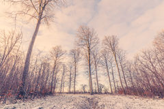 与高大的树木的森林风景冬天 库存照片