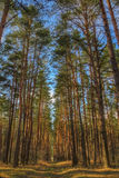 与高杉树和小径的森林风景 免版税库存图片