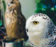 与高雅,锋利和美丽的眼睛的猫头鹰 库存照片