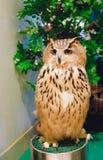 与高雅,锋利和美丽的眼睛的猫头鹰 免版税库存照片