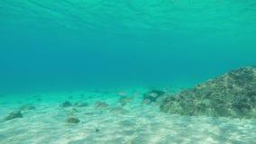 与鱼学校的水下的生活在肋前缘Brava的,卡塔龙尼亚,西班牙 股票视频