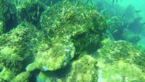 与鱼学校的水下的生活在西班牙沿海的 股票视频