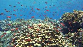 与鱼浅滩的热带珊瑚礁场面  股票视频