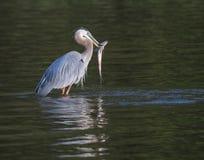 与鱼的伟大蓝色的苍鹭的巢在浅水区 库存图片