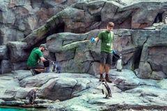 与鱼的克拉科夫动物园职员哺养的企鹅 库存照片
