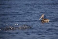 与鱼的布朗鹈鹕 免版税库存照片