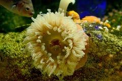 与鱼的海葵 免版税库存照片