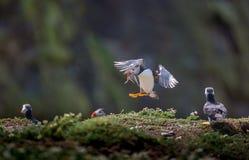 与鱼的海鹦着陆 免版税图库摄影