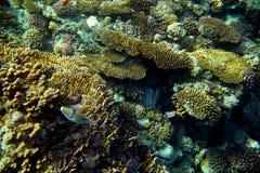 与鱼的珊瑚礁 免版税库存图片