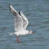 与鱼的白色海鸥 库存照片