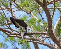 与鱼的白鹭的羽毛在树枝 库存图片