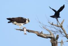 与鱼的白鹭的羽毛 免版税图库摄影