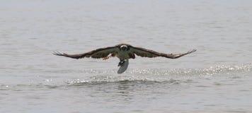 与鱼的白鹭的羽毛 库存图片
