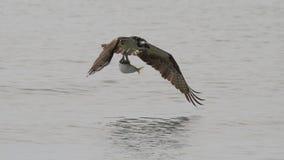 与鱼的白鹭的羽毛 免版税库存图片