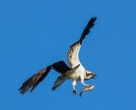 与鱼的白鹭的羽毛 库存照片