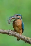 与鱼的翠鸟 免版税库存照片
