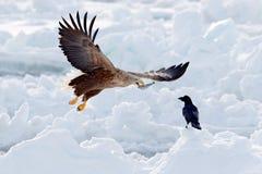 与鱼的老鹰战斗 与两鸷的冬天场面 大老鹰,雪海 飞行白被盯梢的老鹰, Haliaeetus albicilla, 免版税库存照片