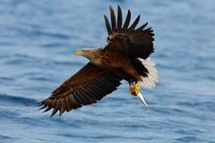 与鱼的老鹰飞行 美丽,白被盯梢的老鹰, Haliaeetus albicilla,飞行的鸷,与海在背景中, Kamchat 库存照片