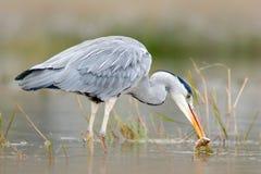 与鱼的苍鹭 与抓住的鸟 鸟在水中 灰色苍鹭,灰质的Ardea,在背景中弄脏了草 苍鹭在森林湖 库存图片
