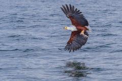 与鱼的非洲鱼鹰飞行 免版税库存图片