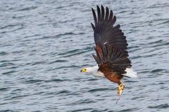 与鱼的非洲鱼鹰,在飞行中 库存图片