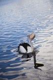 与鱼的鹈鹕 免版税库存图片