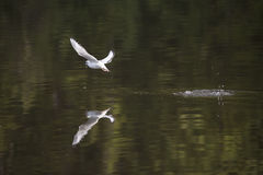 与鱼的Bonaparte的鸥 免版税库存照片