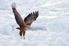与鱼,雪海的大老鹰 飞行白盯梢了老鹰, Haliaeetus albicilla,北海道,日本 行动与冰的野生生物场面 e 库存图片