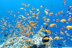 与鱼anthias浅滩的五颜六色的珊瑚礁在热带海,水下 免版税库存照片