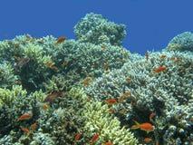 与鱼anthias浅滩的五颜六色的珊瑚礁在热带海 免版税库存图片