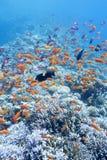 与鱼anthias浅滩的五颜六色的珊瑚礁在热带海 图库摄影
