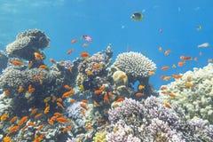 与鱼anthias浅滩的五颜六色的珊瑚礁在热带海 免版税库存照片