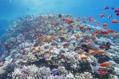 与鱼anthias浅滩的珊瑚礁在热带海,水下 免版税库存图片