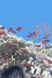 与鱼scalefin anthias浅滩的五颜六色的珊瑚礁在热带海 免版税库存照片