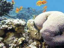 与鱼scalefin anthias浅滩的五颜六色的珊瑚礁在热带海 免版税图库摄影