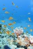 与鱼scalefin anthias浅滩的珊瑚礁在热带海 免版税库存照片