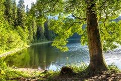 与鲜绿色的叶子的一个树干在岸湖 免版税库存图片