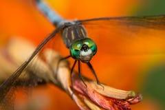 与鲜绿色的眼睛的蜻蜓在橙色花 库存照片