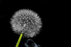 与鲜绿色的茎的一个孤立蒲公英 图库摄影