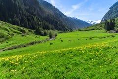 与鲜绿色的草甸和吃草母牛的惊人的高山风景 奥地利,提洛尔, Stillup 免版税库存照片
