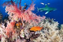 与鲨鱼和石斑鱼的五颜六色的礁石 库存图片