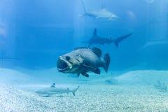 与鲨鱼的巨型石斑鱼在蓝色海 库存图片
