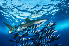 与鲭类海鱼的海洋白鳍鲨 免版税库存照片
