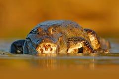 与鳄鱼的晚上光 Yacare凯门鳄,鳄鱼画象在与开放枪口,大牙,潘塔纳尔湿地,巴西的水中 STI 库存图片