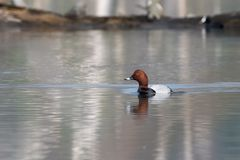 与鸟共同的潜鸭Aythya ferina的美好的自然场面 库存照片