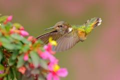 与鸟的桃红色花 火山蜂鸟,在绿色叶子的小鸟,动物在自然栖所,山热带森林, 免版税库存图片