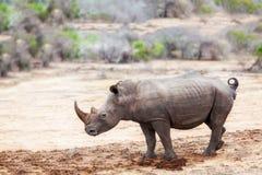 与鸟的犀牛在南非支持 库存照片