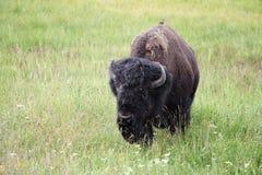 与鸟的狂放的北美野牛 库存图片