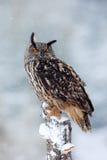 与鸟的第一雪 与大白色美丽的猫头鹰的冬天 从多雪的自然的野生生物场面 与猫头鹰的雪风暴 大欧亚混血人Eag 图库摄影
