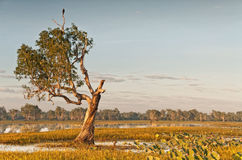 与鸟的粗糙的树在黄河billabong,澳大利亚的上面 库存照片